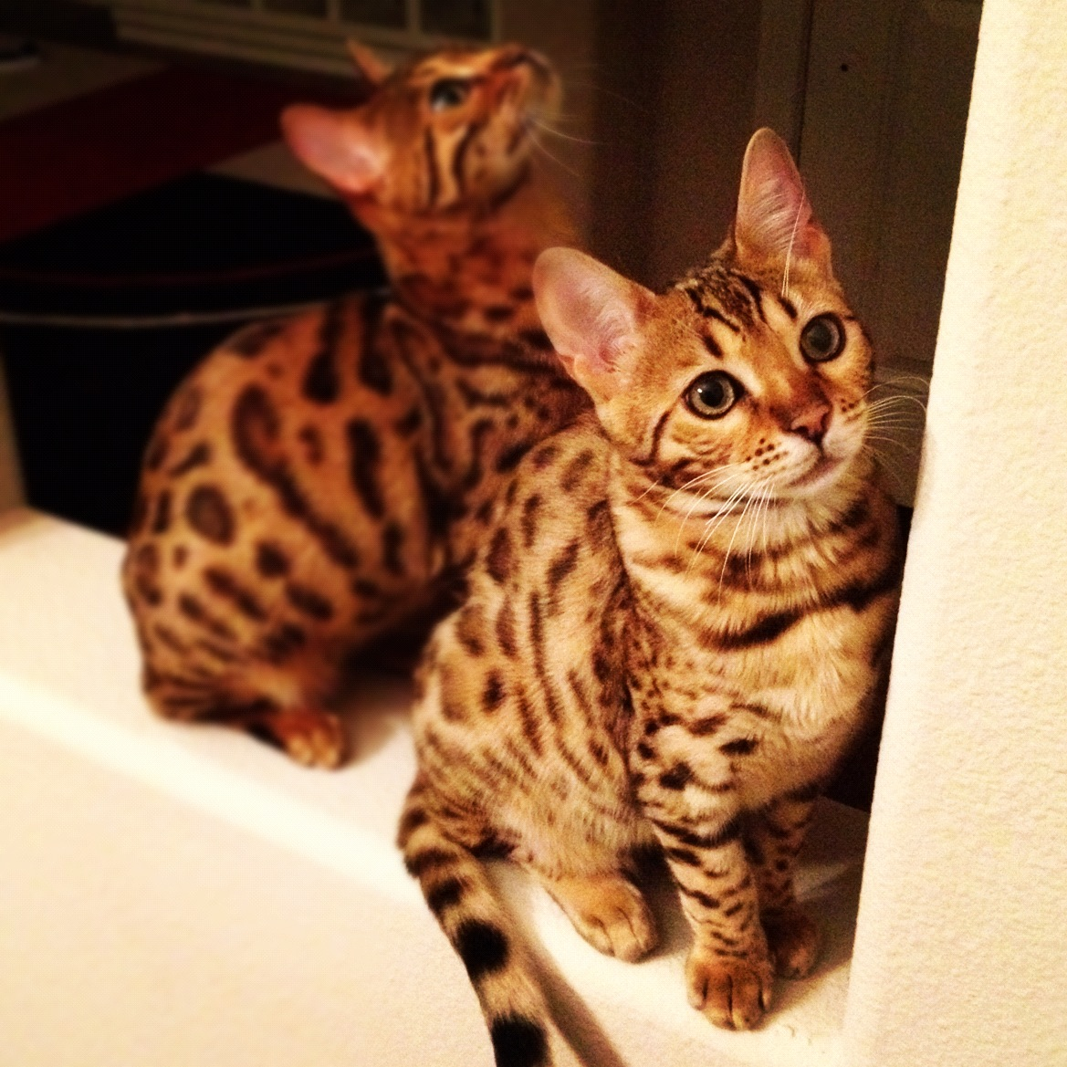 toilet training « Lap Leopards; The Bengal Cat.